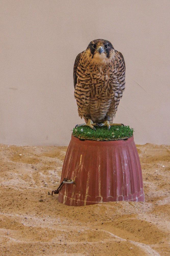 falcon souq, Qatar