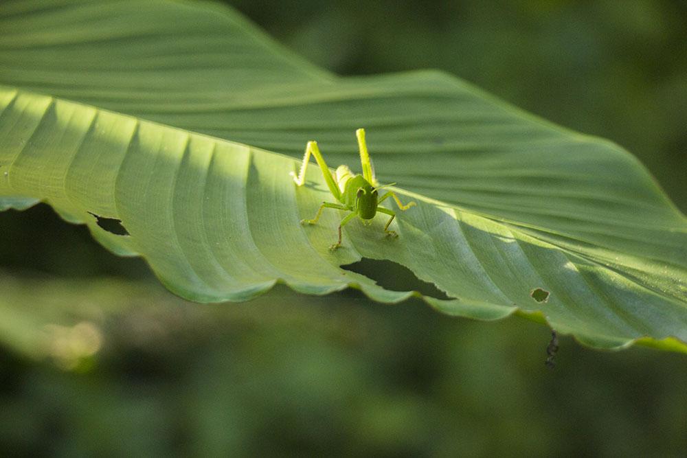 Græshoppe i Taipei