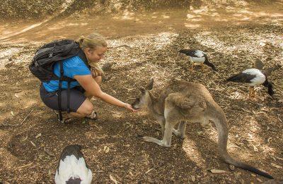 fodring af kænguruer i Australien