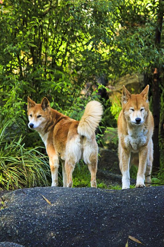 det bedste sted at se vilde dingoer