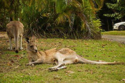 det bedste sted at se vilde kænguruer i Australien