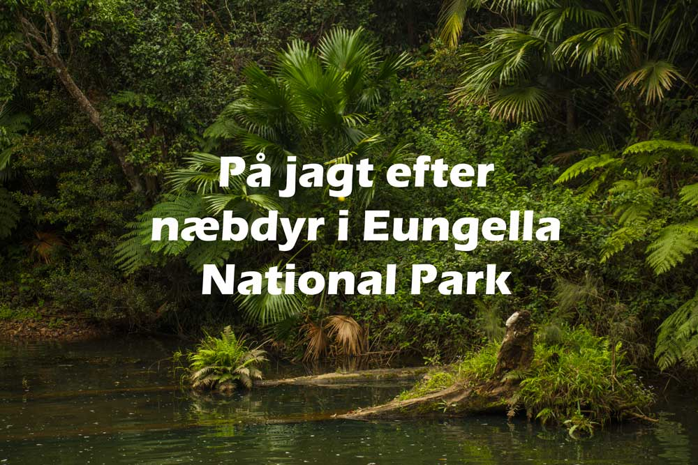 På jagt efter næbdyr i Eungella National Park, Queensland