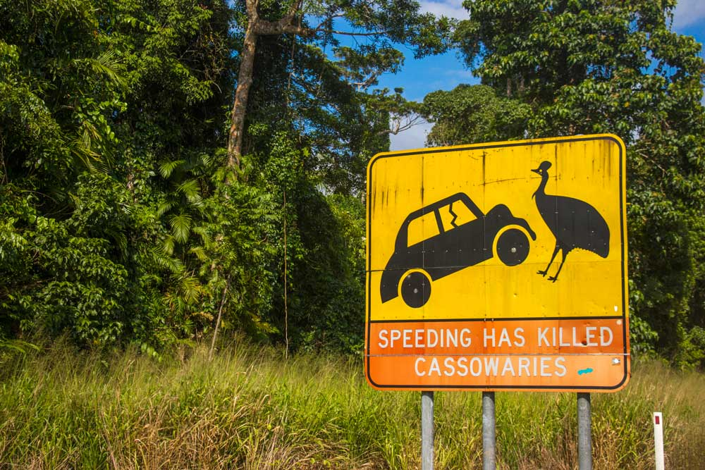 Cassowary, Australiens mærkeligste fugl