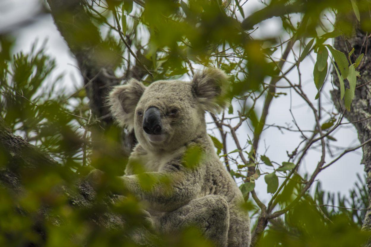 hvor kan man se koalaer i Australien