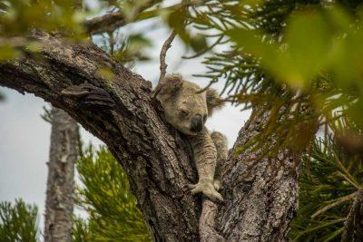 det bedste sted at spotte vilde koalaer i Australien