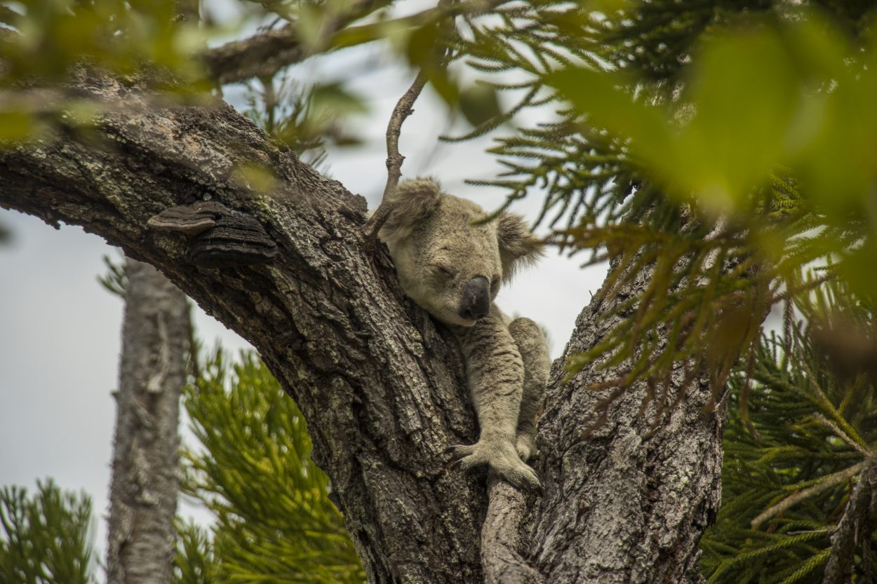 se vilde koalaer på Magnetic Island
