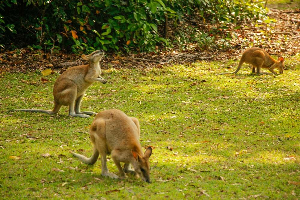 Vilde wallabies i Australien