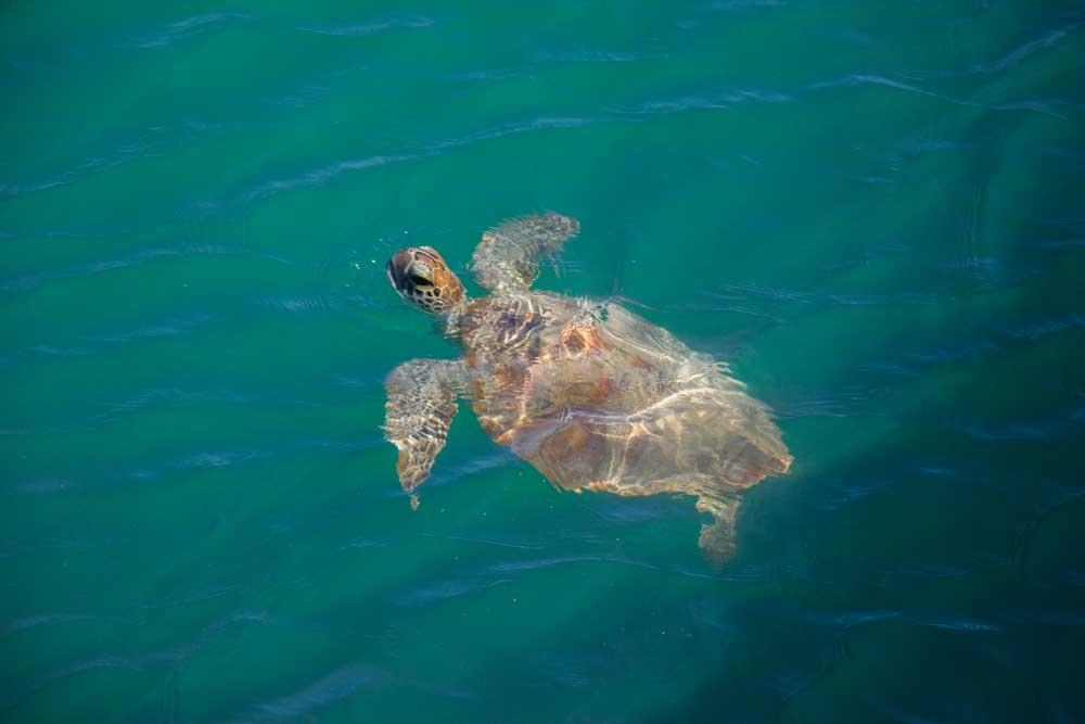 skildpadde vestaustralien