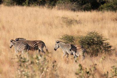 Billig safari i Kruger Nationalpark, Sydafrika