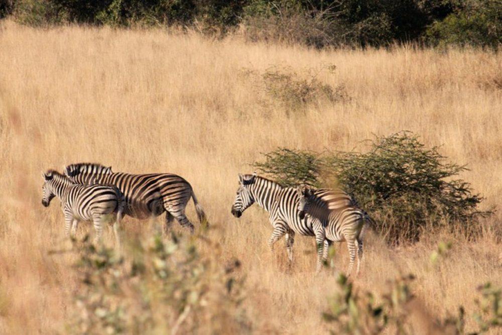 Billig safari i Sydafrika: På jagt efter the big 5 i Kruger Nationalpark