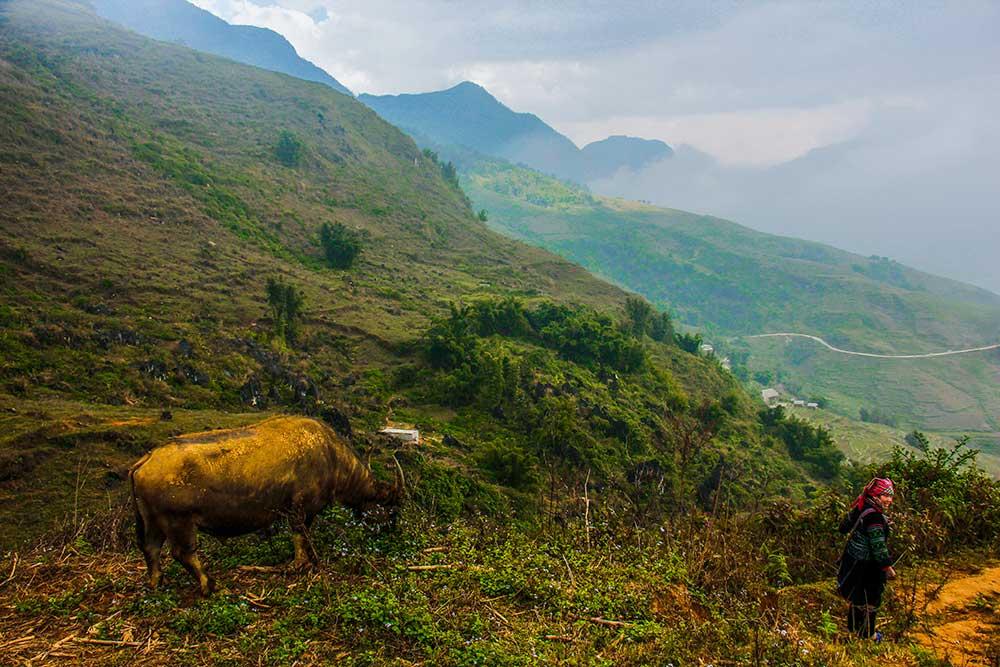 okse og bjerg i sapa vietnam