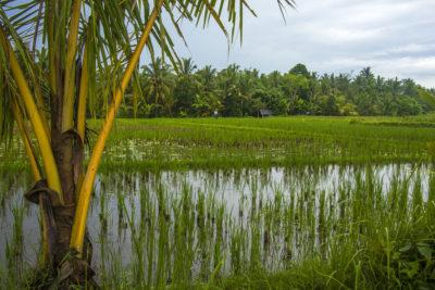 Rejseblog: Uturistet gåtur blandt Ubuds rismarker