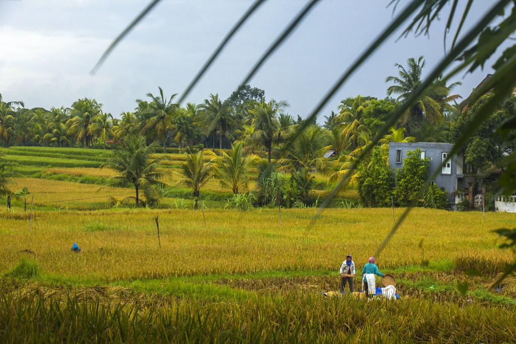 bønder i rismarkerne, ubud, bali
