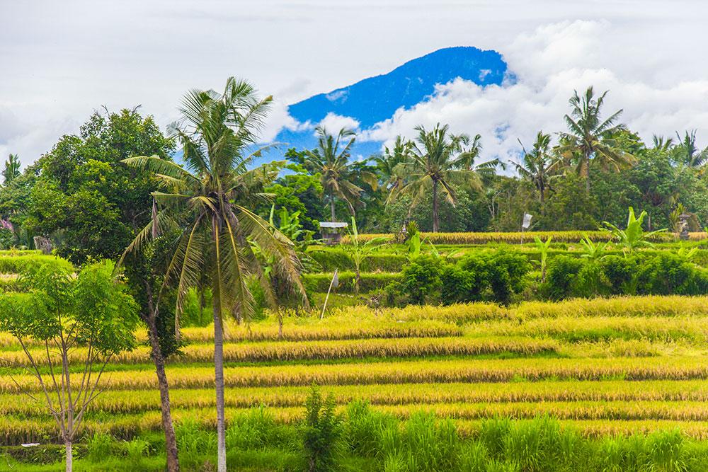 rismarker i Ubud
