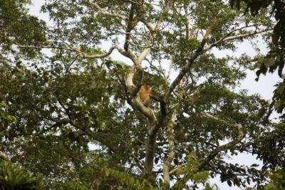 På jagt efter orangutanger: Safari på Kinabatangan-floden, Borneo, Malaysia