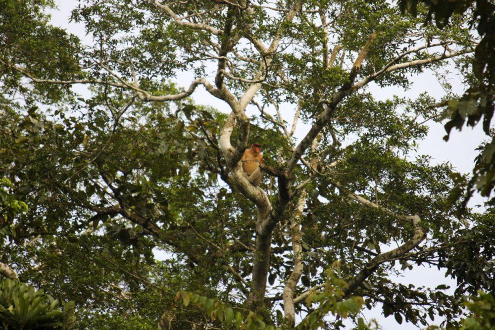 På jagt efter orangutanger: Safari på Kinabatangan-floden, Borneo