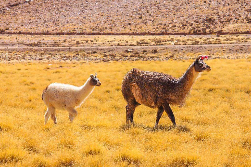 llama i bolivia
