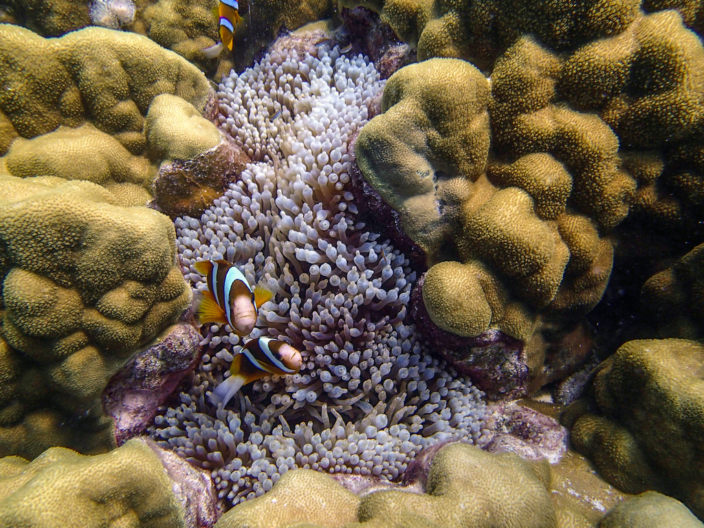 klovnfisk på great barrier reef