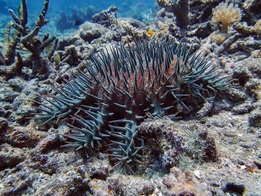 crown of thorn starfish