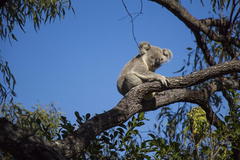 vild koala på Magnetic Island