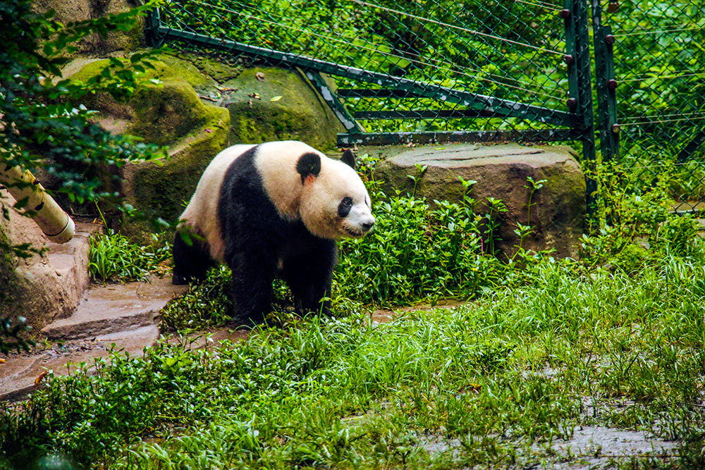 panda i chengdu, kina