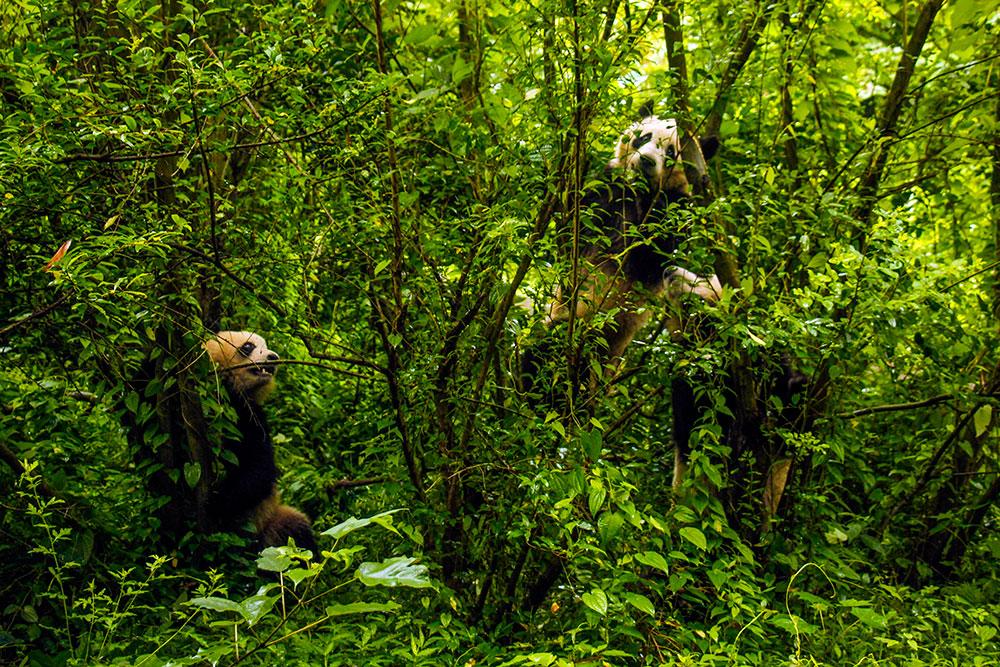 pandaer/dyr i kina