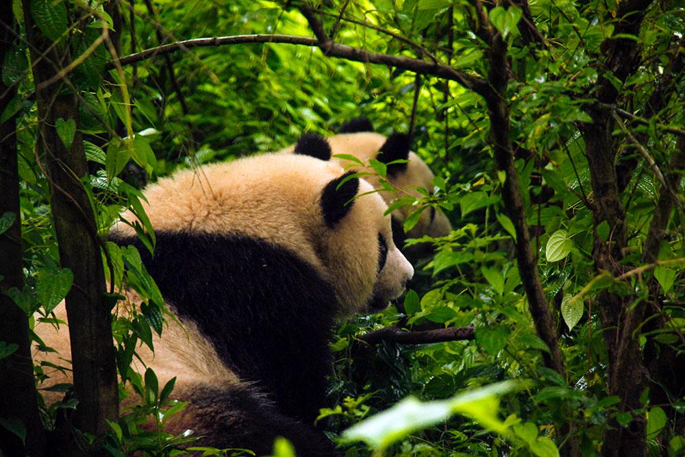 pandaer i kina
