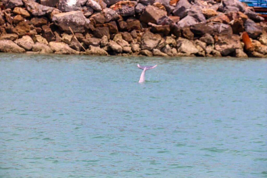lyserød delfin i Thailand