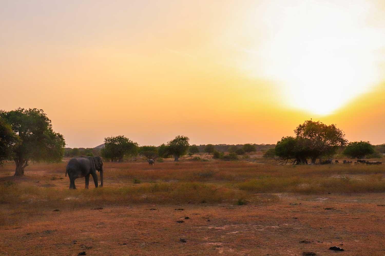 elefant i solopgangen, Yala Nationalpark , Sri Lanka
