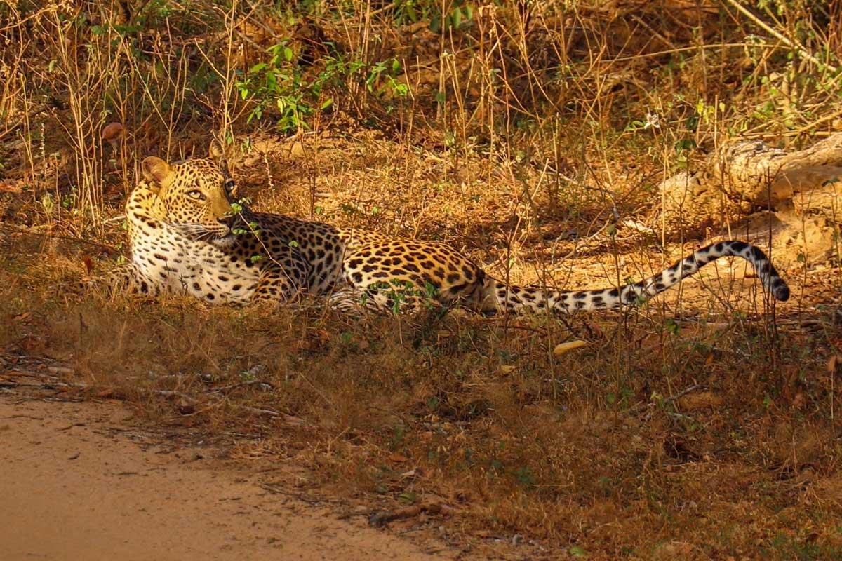 leopard i Sri Lanka