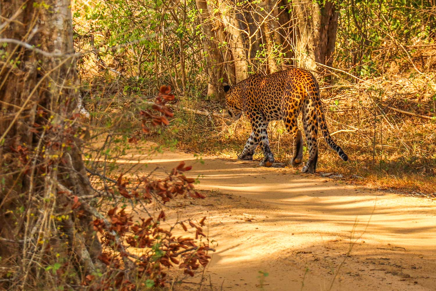leopard i Yala National Park, Sri Lanka
