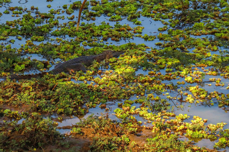 krokodille, Sri Lanka