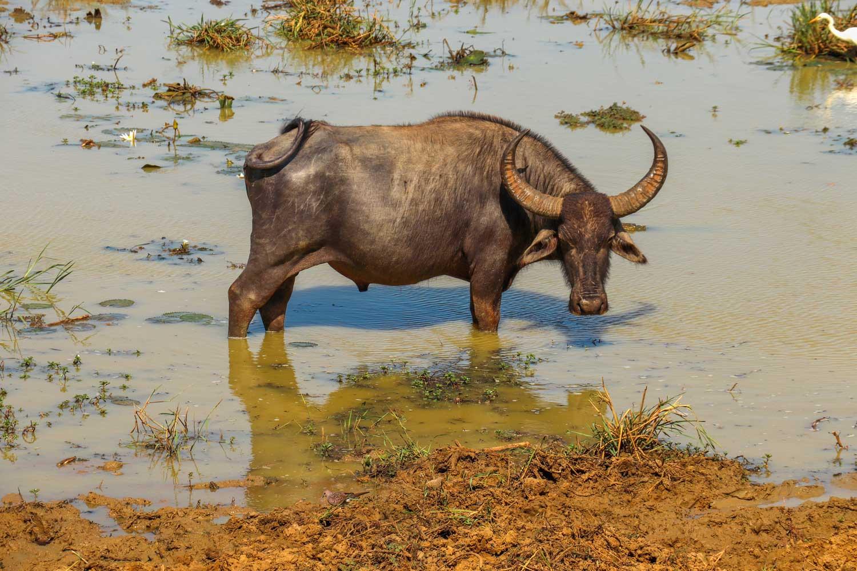 Bøffel, Sri Lanka