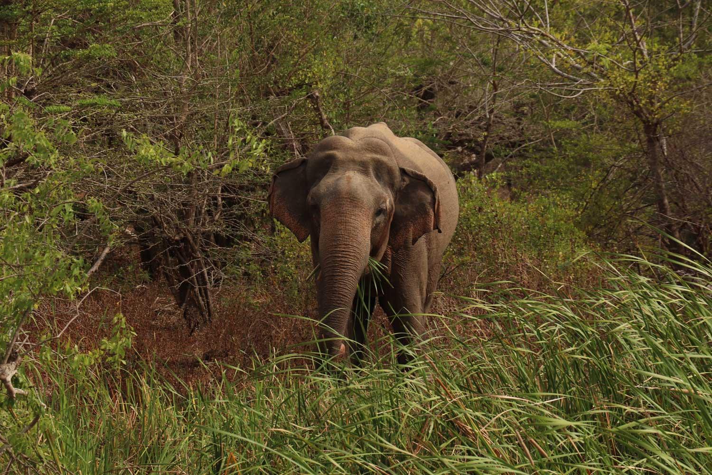 elefant, sri lanka