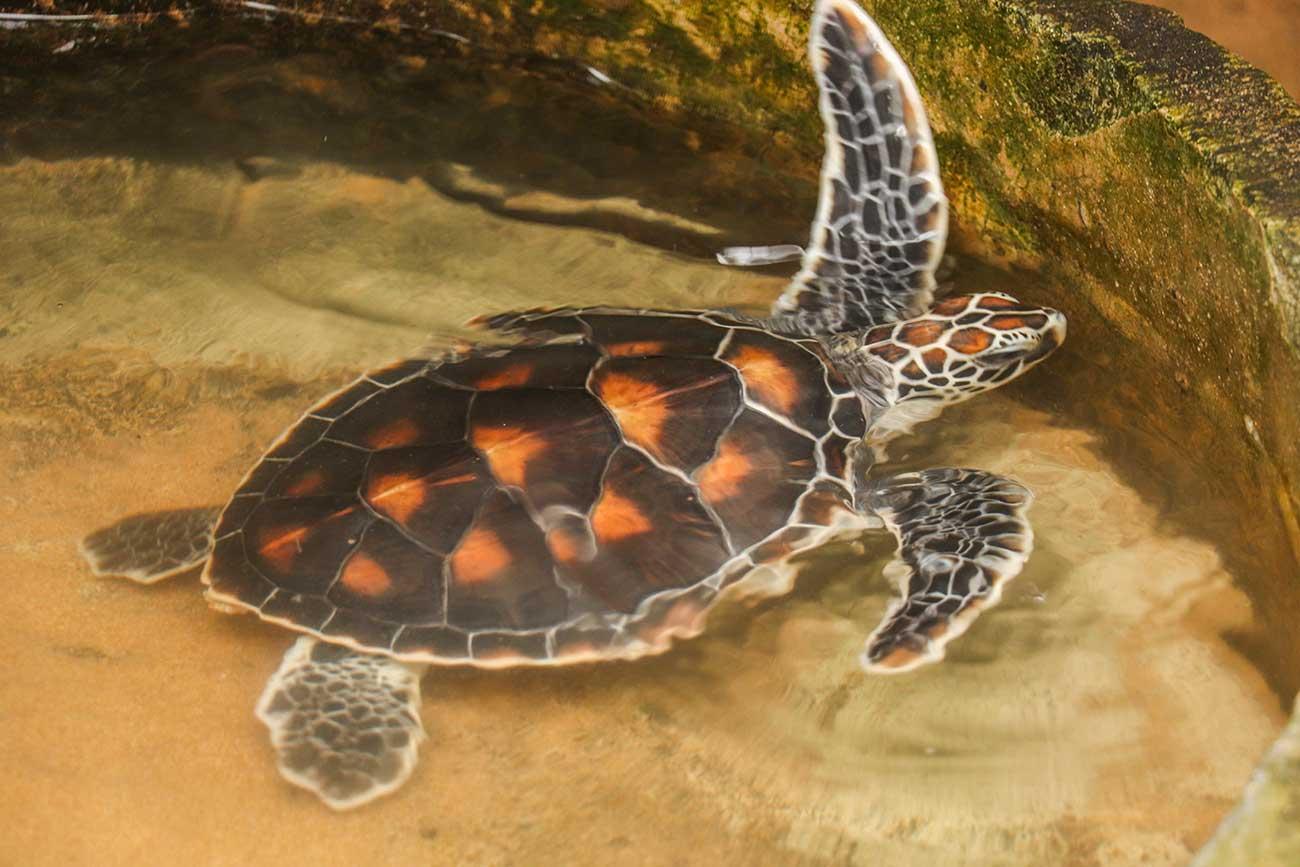 grøn havskildpadde