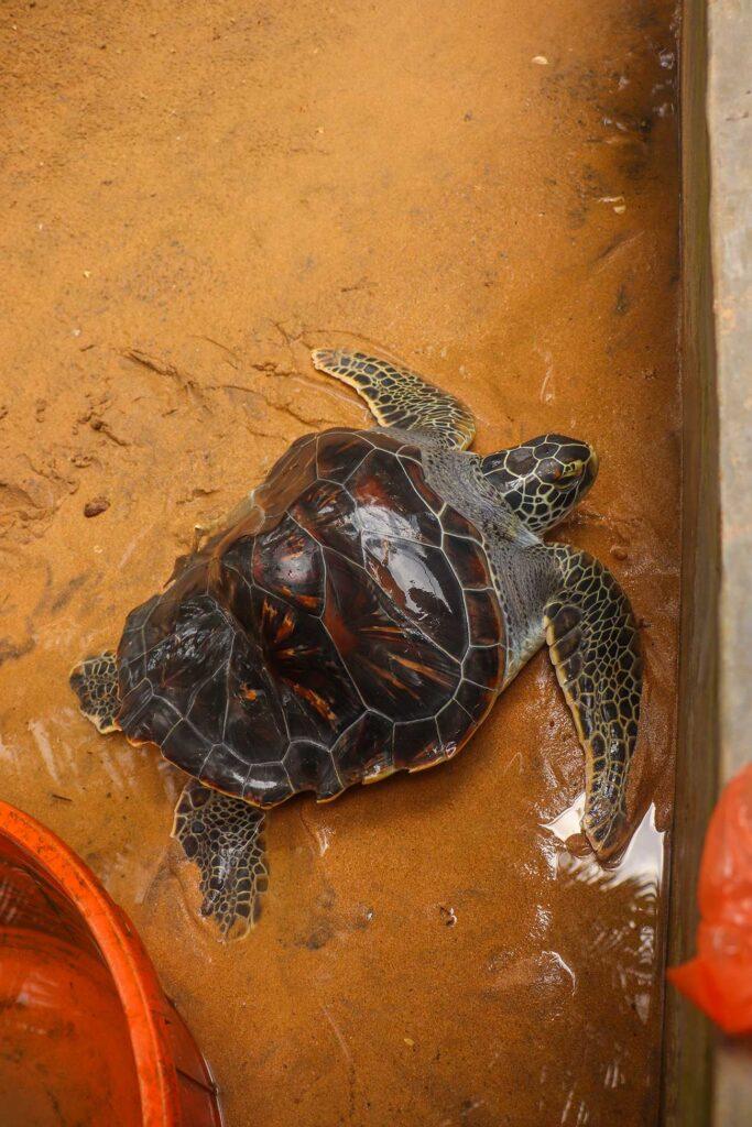 syg skildpadde