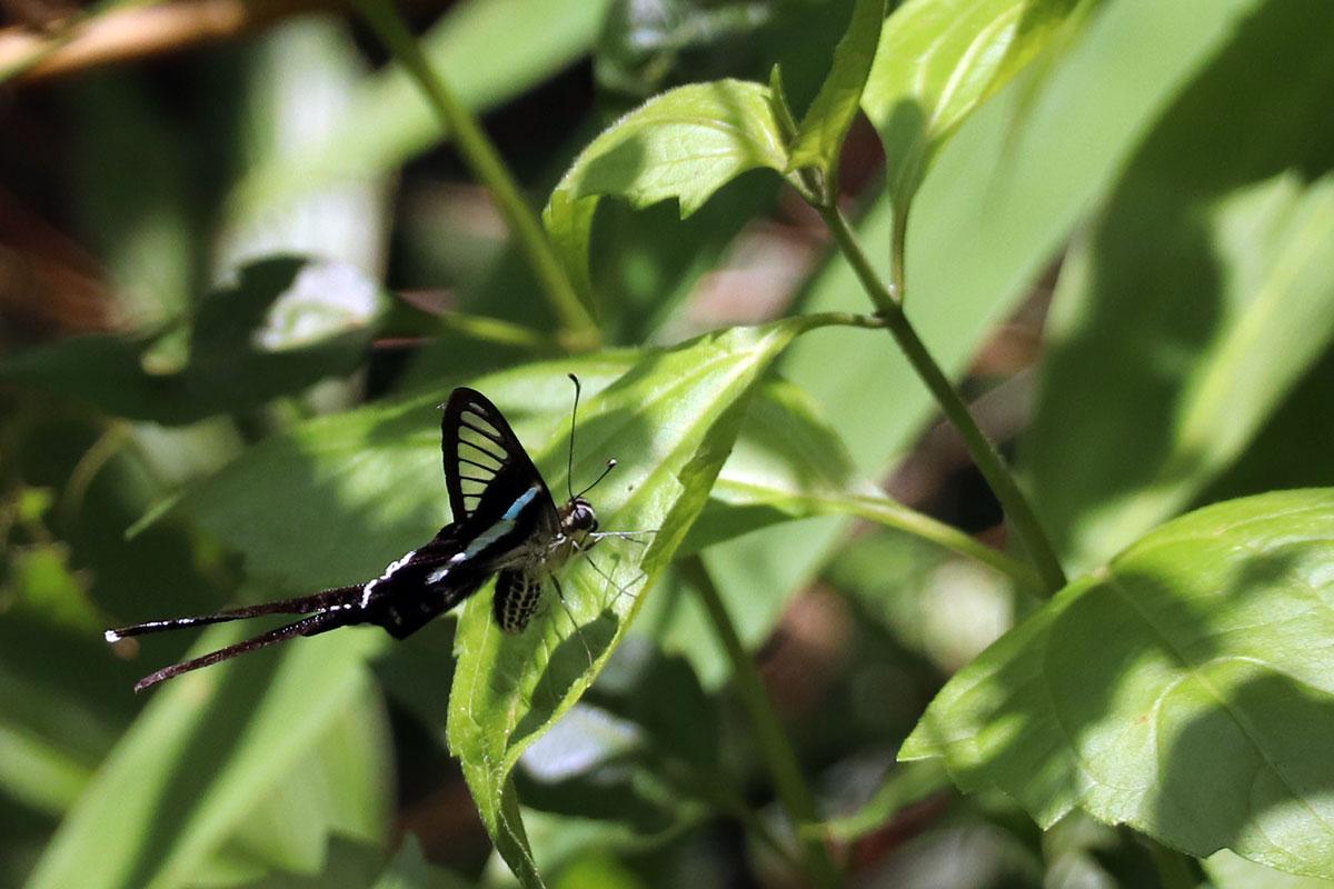 sommerfugl ved Kayangan Lake