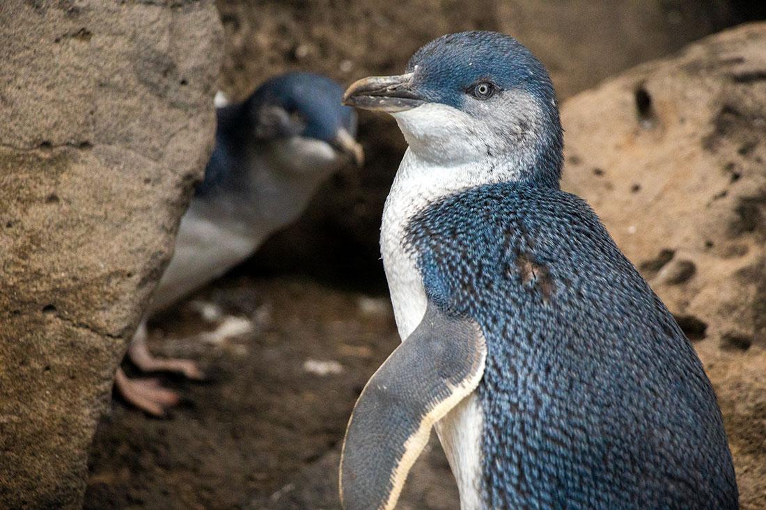 dværgpingviner, melbourne, australien