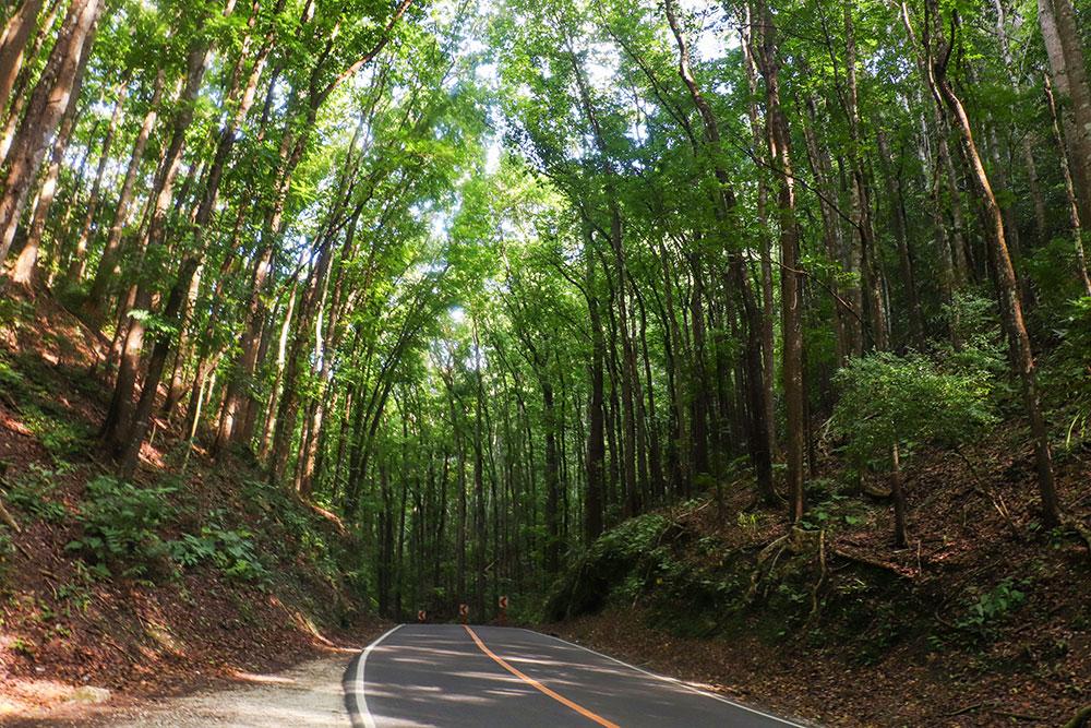 man-made forest, bohol, filippinerne