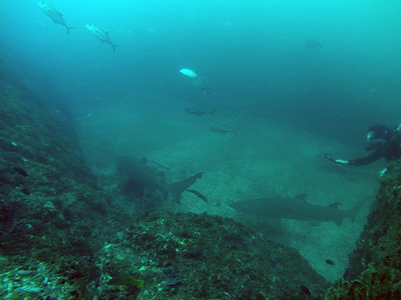 dyk med hajer i Australien