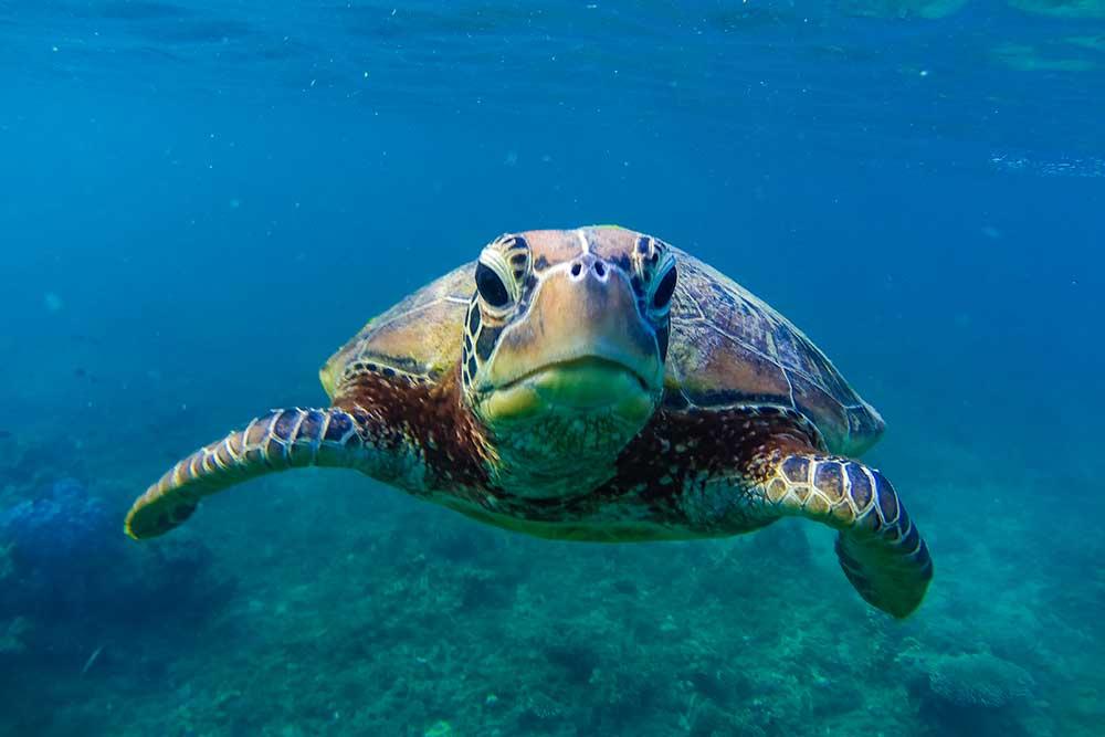 skildpadde ved Fitzroy Island