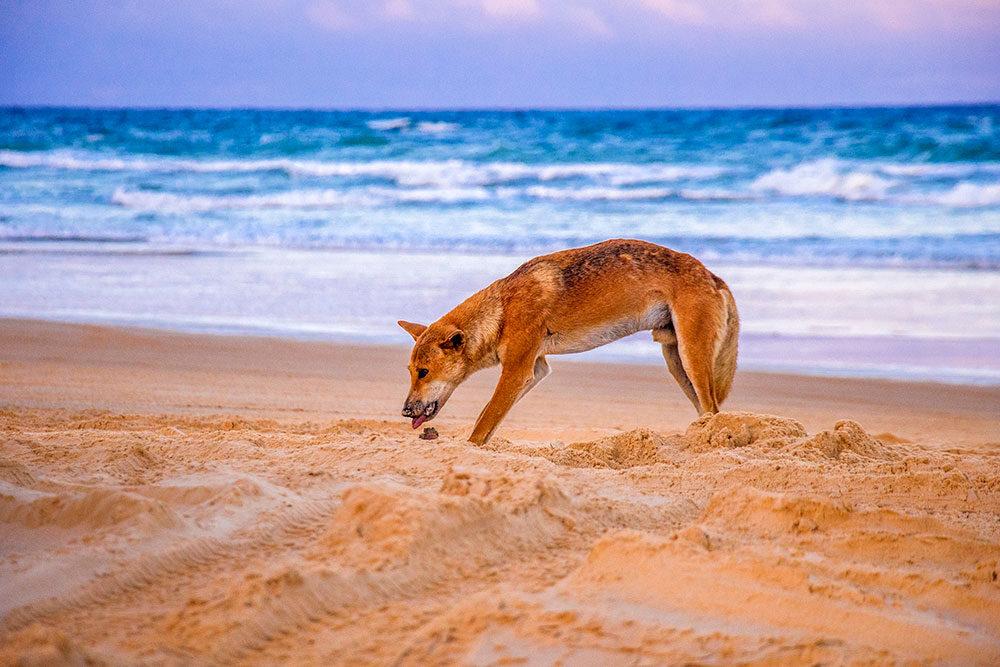 dingo på K'gari (fraser island)