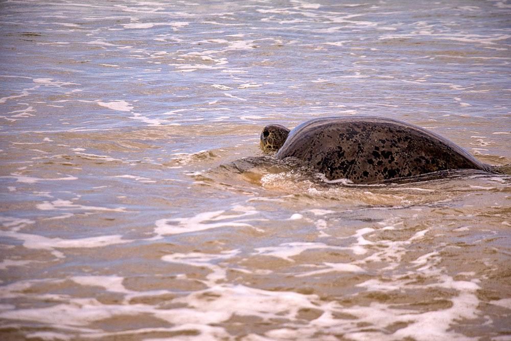 skildpadde på fraser island