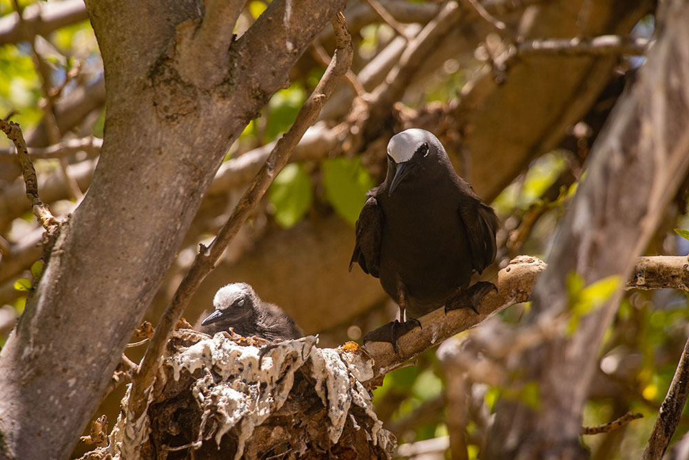 fugle på lady musgrave island
