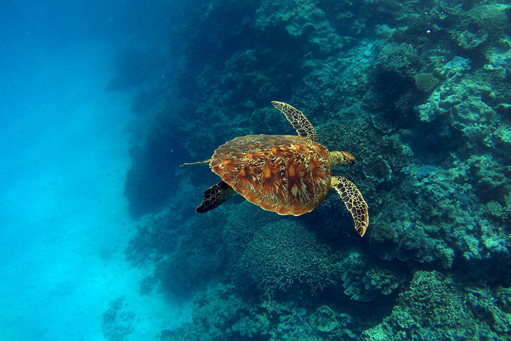 skildpadde ved lady musgrave island